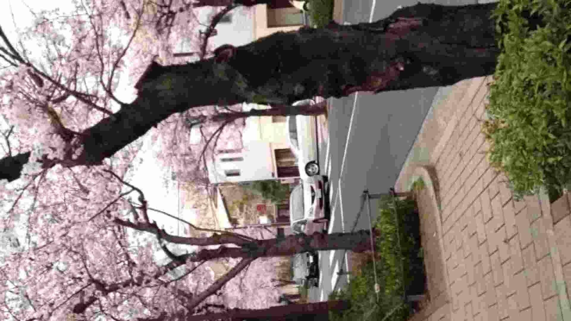 23(19日目)桜を見ながらお散歩 一般投稿  100連発 51